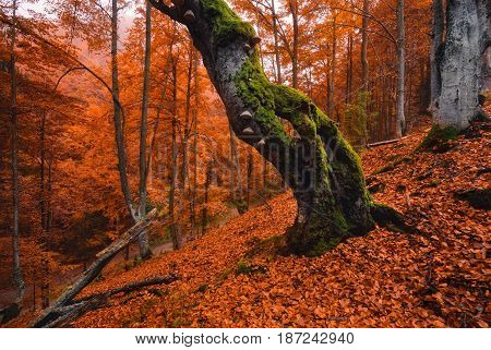 Autumn forest landscape in orange tones.Old, moss-covered lonely tree standing on a slope with red fallen leaves.Old rotten beech on a mountainside against a background of red foliage