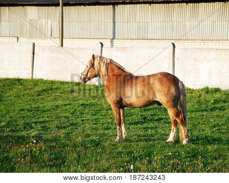 A red horse with a blond mane of harness breed stands on the green grass