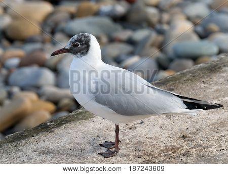 Black headed gull on wall at seaside resort.
