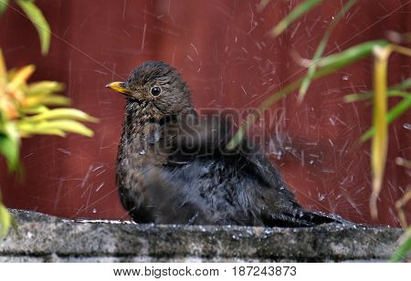 Female blackbird bathing in house garden bird bath.