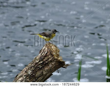 Grey wagtail perched on a log in river