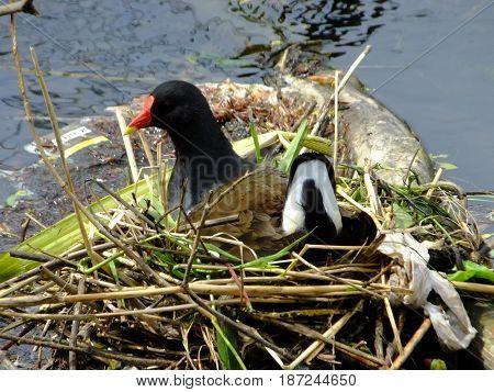 Waterhen sitting on its nest  amongst river debris