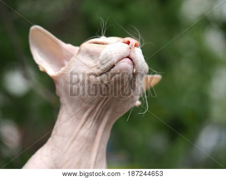 Portrait of a happy cat Sphinx. Animal squints into the sun. Green natural background