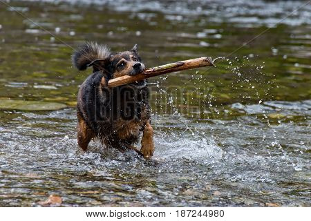 The Terrier mixed breed dog playing in the water
