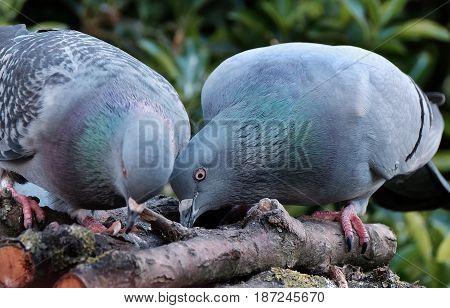 Feral pigeons feeding on house bird table.