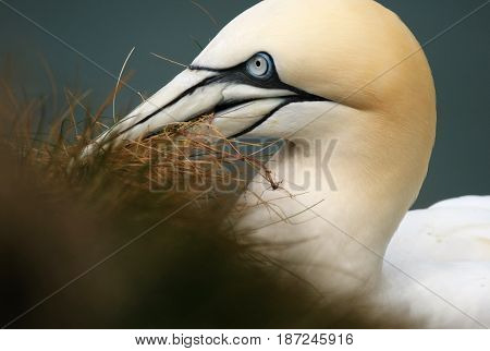 Adult Gannet collecting nesting material on chalk cliffs on UK east coast.