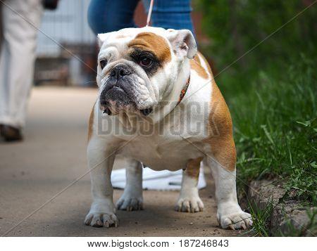 Portrait of a dog on a walk. Beautiful English bulldog collar