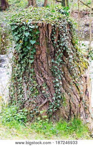 A Tree stump covered with ivy in thuringia