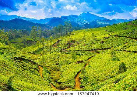 Beautiful Green Tea Plantations With Blue Mountain, Munnar, Kerala, India Travel Background