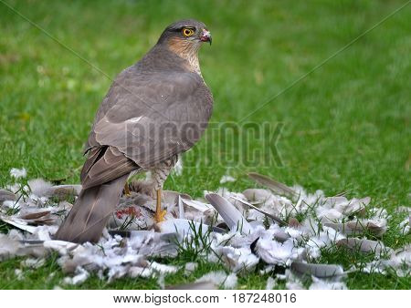 Female Sparrow Hawk eating ring neck dove prey.