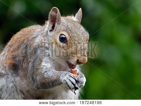 Grey Squirrel feeding on peanuts in urban house garden.