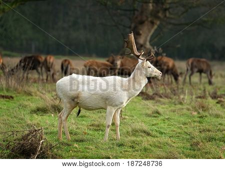 White Fallow deer stag. The fallow deer is a ruminant mammal belonging to the family Cervidae.