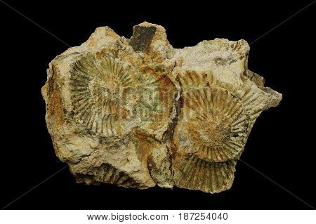 Fossilized ammonite imprint in the sedimentary rock from the cretaceous period. Origin: Podleze near Krakow Poland.