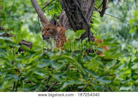 Eurasian lynx climbing on a tree hidden between the leaves