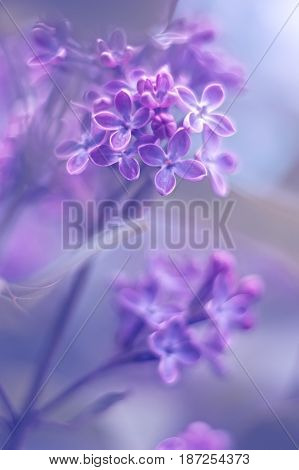 Spring background of spring lilac flowers in spring blossom colorful spring background. Lilac flowers in the spring garden spring background.