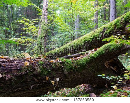 Old oak tree broken lying and old natural deciduous stand in background, Bialowieza Forest, Poland, Europe