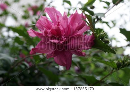 A rose of Sharon flower (Hibiscus syriacus) blooms on a bush in Joliet, Illinois during August..