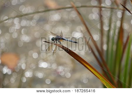A male blue dasher dragonfly (Pachydiplax longipennis) alights upon  a reed over a small lake in Joliet, Illinois during August.