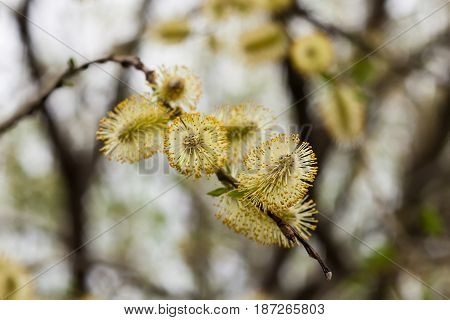 Green beautiful Pussy Willow (Salix caprea) in spring day