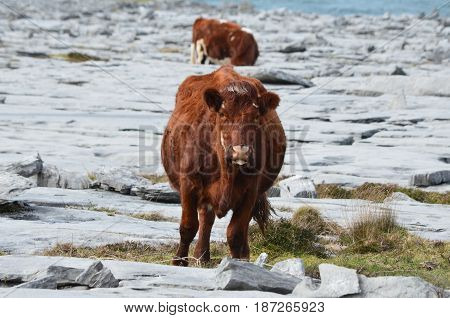 Two cows grazing on the Burren in County Clare Ireland.