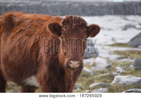 Beautiful shaggy brown cow standing on the Burren in Ireland.