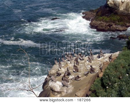 Pelicans On Cliff