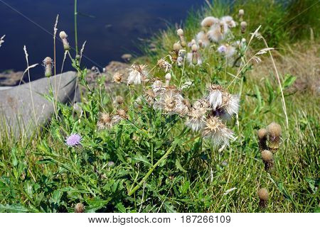 The seed heads of creeping thistle plants (Cirsium arvense), also called the Canada thistle, growing next to a small lake in Joliet, Illinois, during August.