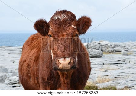Cow standing on the Burren in County Clare Ireland.