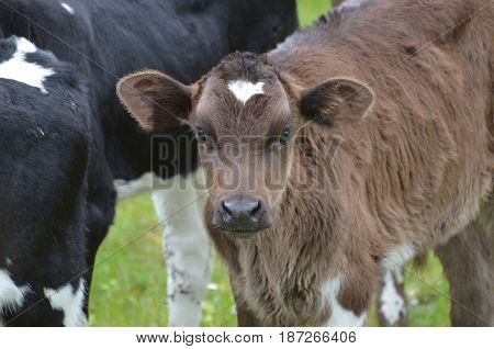 Really cute face of a brown calf in Ireland.