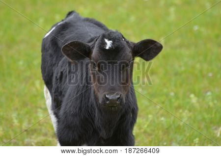 Adorable black calf in the Spring. Found in a field in Ireland.