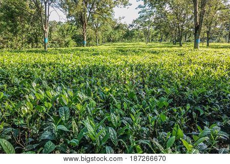 Beautiful fresh green plantation / vegetation landscape view
