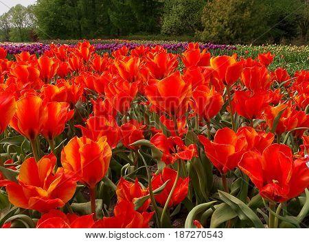 Red tulips during flowering in botanical garden in Lodz.