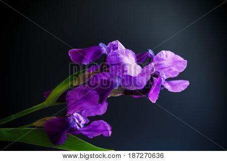 Iris flower. Flower purple iris on a black background