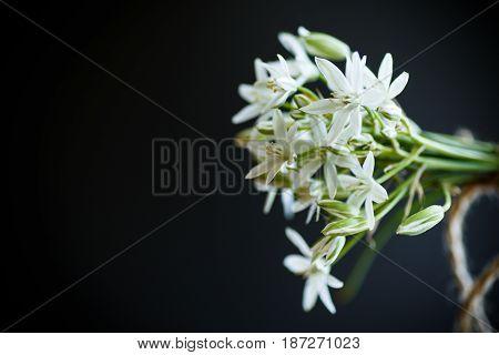 Ornithogalum umbellatum .Beautiful white flowers on a black background