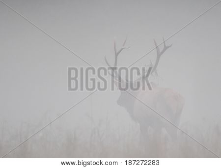 Bull Elk Walks Away into Fog in open field