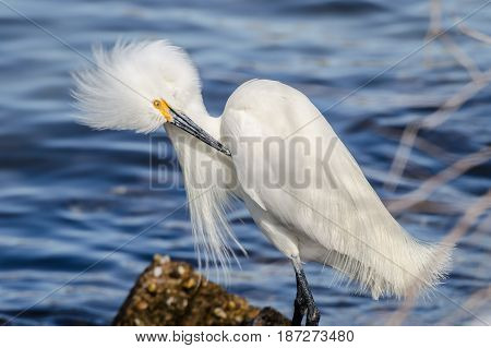A Close up of a Snow Egret at St. Andrews State Park in Panama City Beach Florida.
