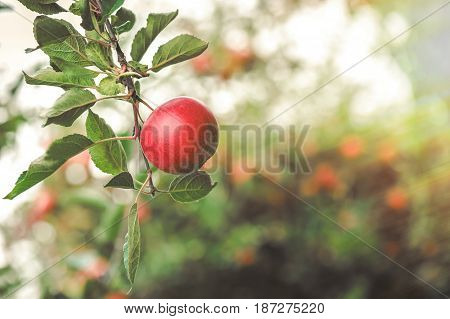Apples hanging on the branch in the apple orchad during autum. Poland