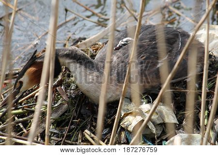 Great crested grebe (Podiceps cristatus) with nestling on back