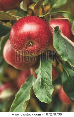 Organic apples hanging from a tree branch in an apple orchard