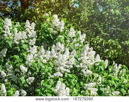 White lilac blooms. A beautiful bunch of flowers closeup. Spring Flowering. Lilac Bush Bloom. Lilac flowers in the garden.