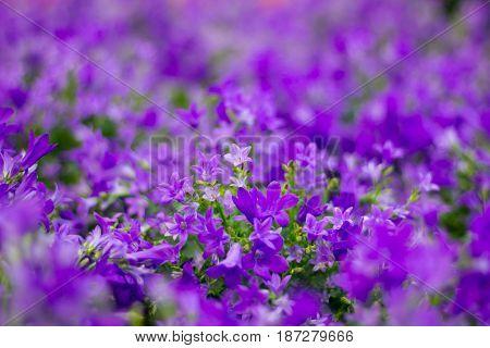 Flora background of purple flowers in bokeh