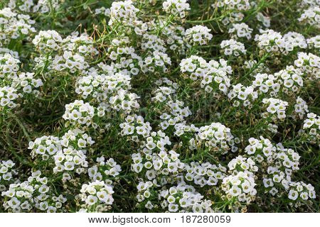 Floral background of white flowering bush in blossom