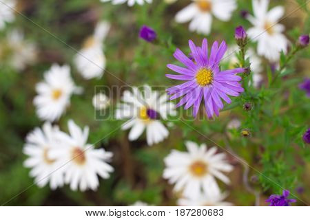 Flora background of white and purple chamomile flowers