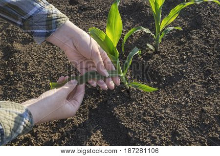 Farmer hand in corn field selective focus. Agricultural concept.
