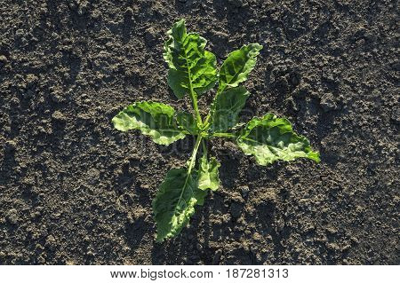 Young sugar beet plant in field agricultural concept.