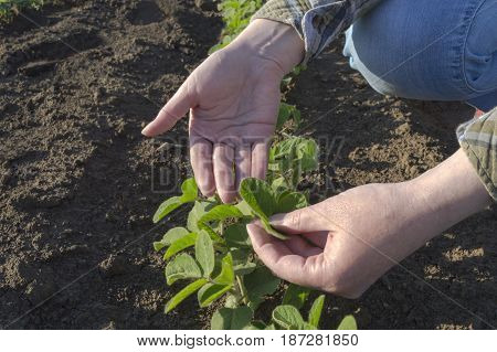 Female farmer's hands in soybean field examining plant. Agricultural concept.