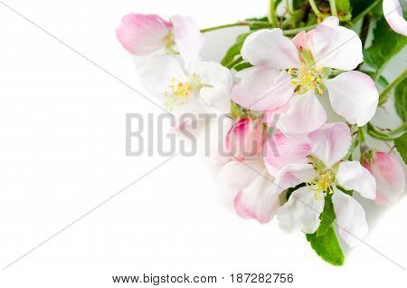 Branch of a blossoming apple-tree on a white background close-up