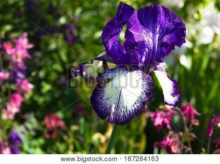 Close-up of a flower of bearded blue iris (Iris germanica). Flower bed of irises. Iridarius