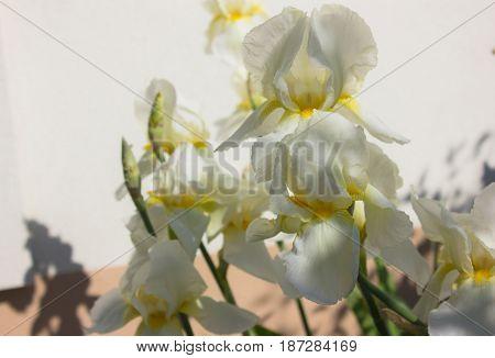 Close-up of a flower of bearded iris (Iris germanica). Flower bed of irises. Iridarius