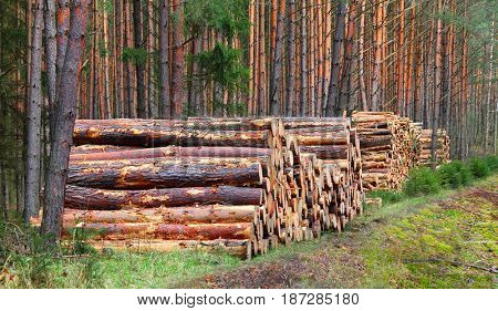 Pine logs in the forest. Firewood as a renewable energy source.